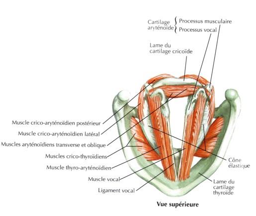 Larynx et cordes vocales